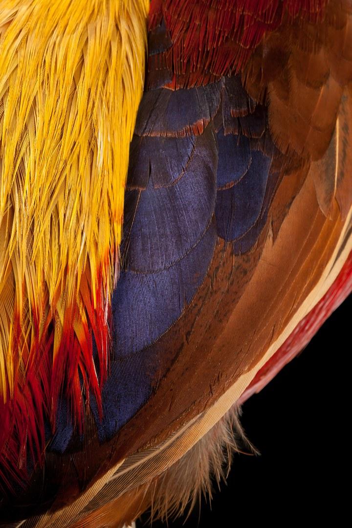 Großaufnahme des Flügels eines Goldfasanhahns (Chrysolophus pictus):