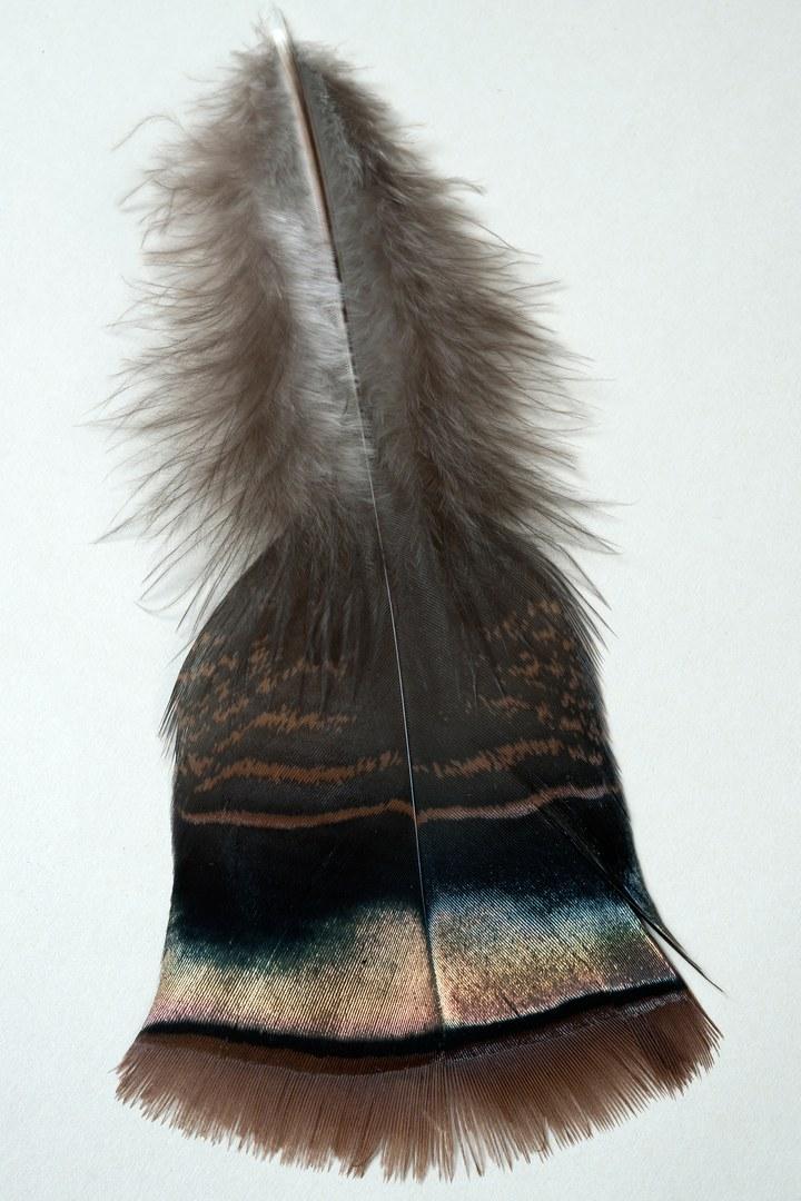 Großaufnahme einer Konturfeder eines männlichen Truthuhns (Meleagris gallopavo):