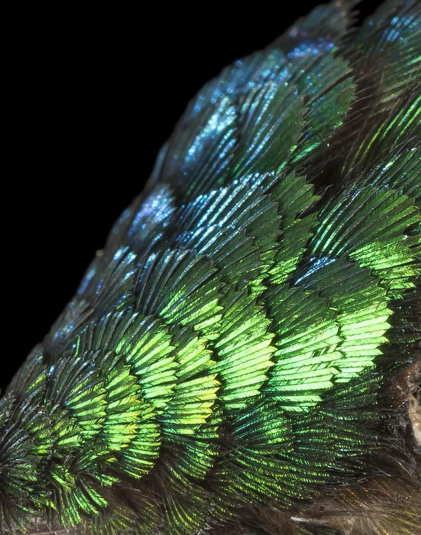Nahaufnahme des Kopfgefieders eines Kolibris (Aglaiocercus kingii):