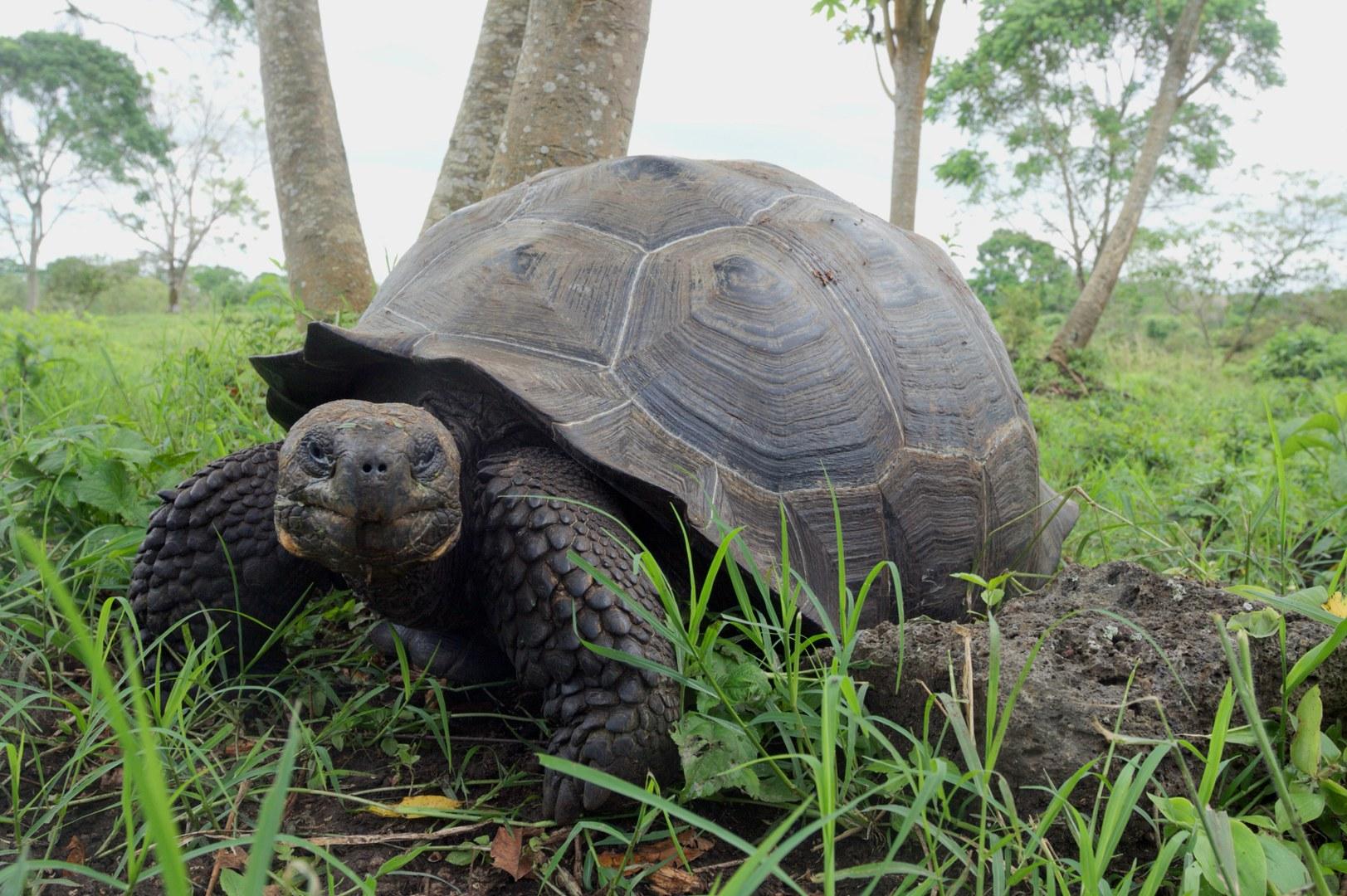 Galapágos-Riesenschildkröte von den Santa-Cruz-Inseln: