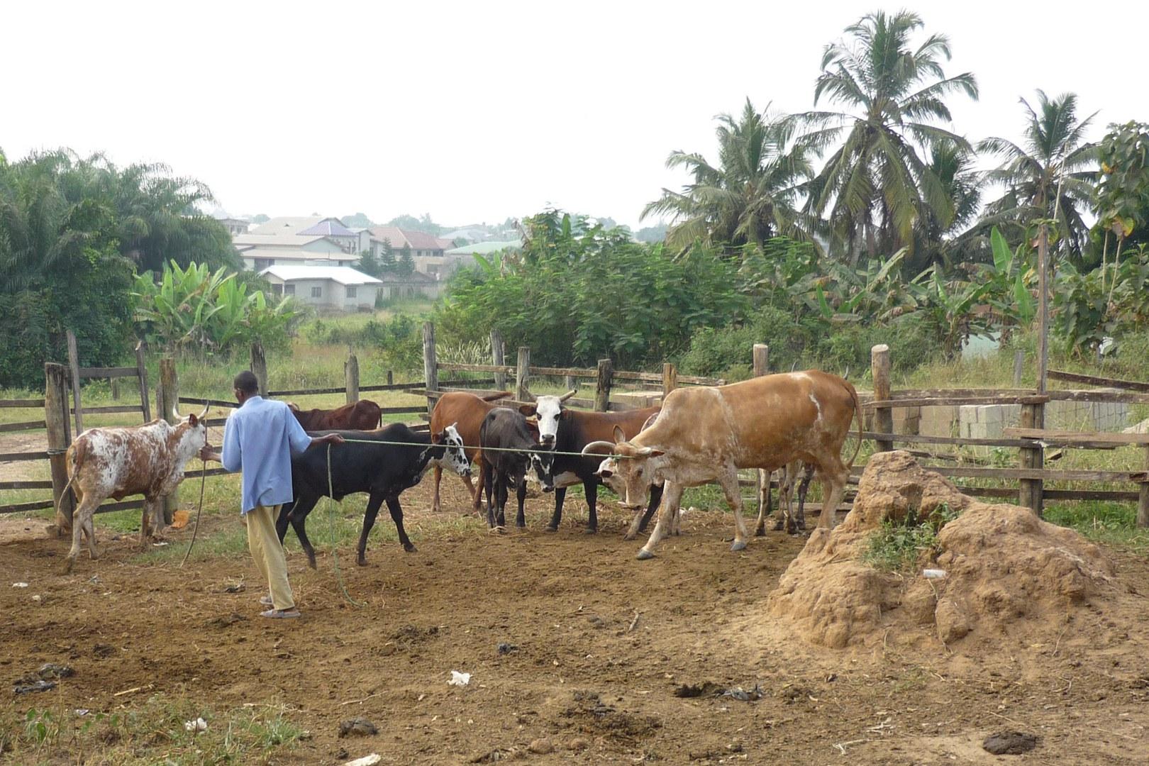Rinderhaltung in Ghana: