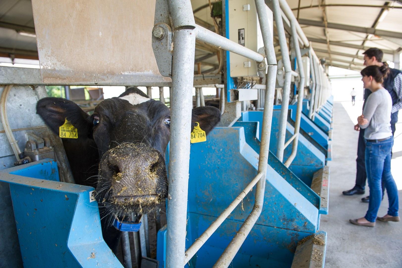 Neugieriger Blick einer Milchkuh