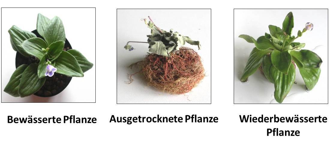 Die austrocknungstolerante Pflanze Craterostigma plantagineum: