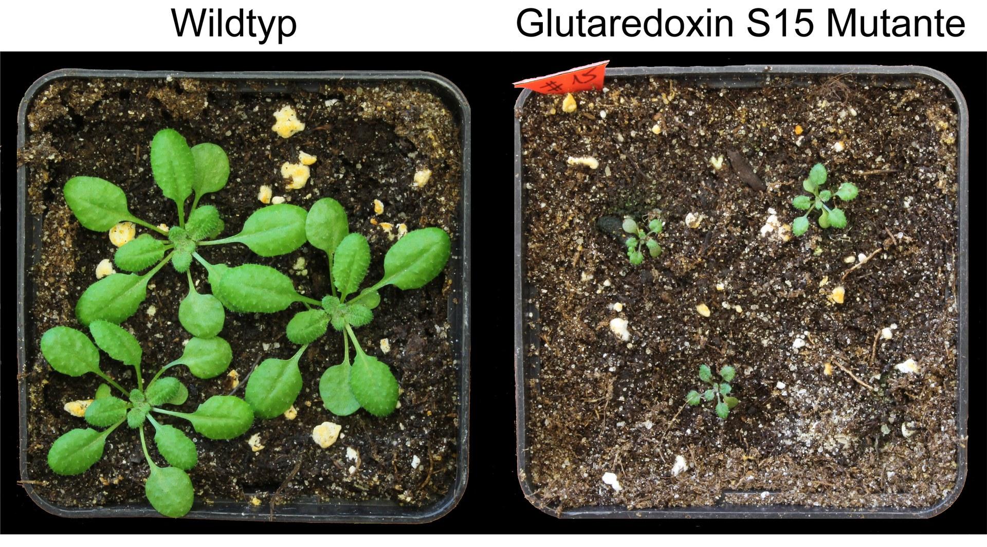 Arabidopsis-Keimlinge: