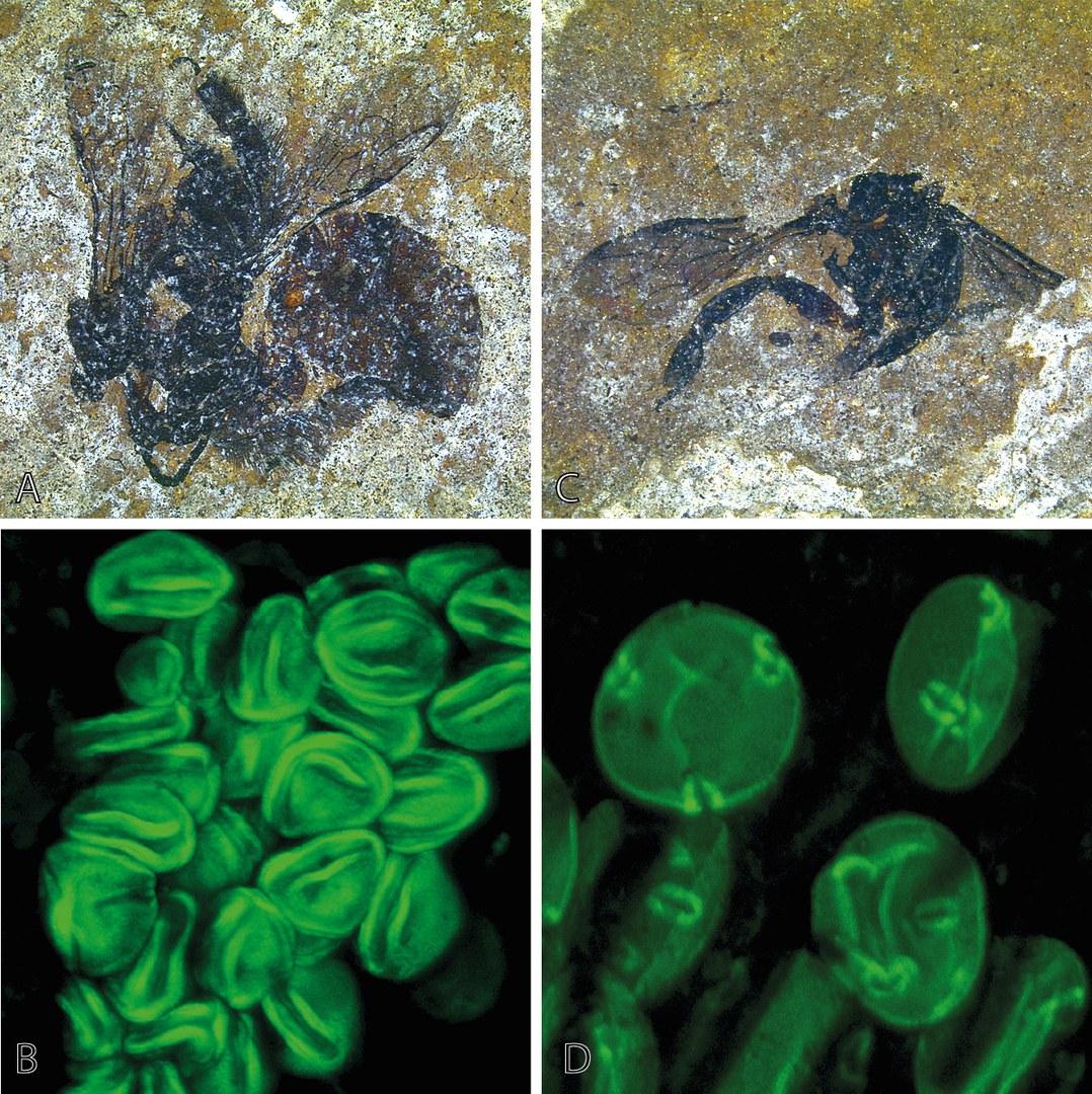 Das Bild zeigt zwei fossile Bienen
