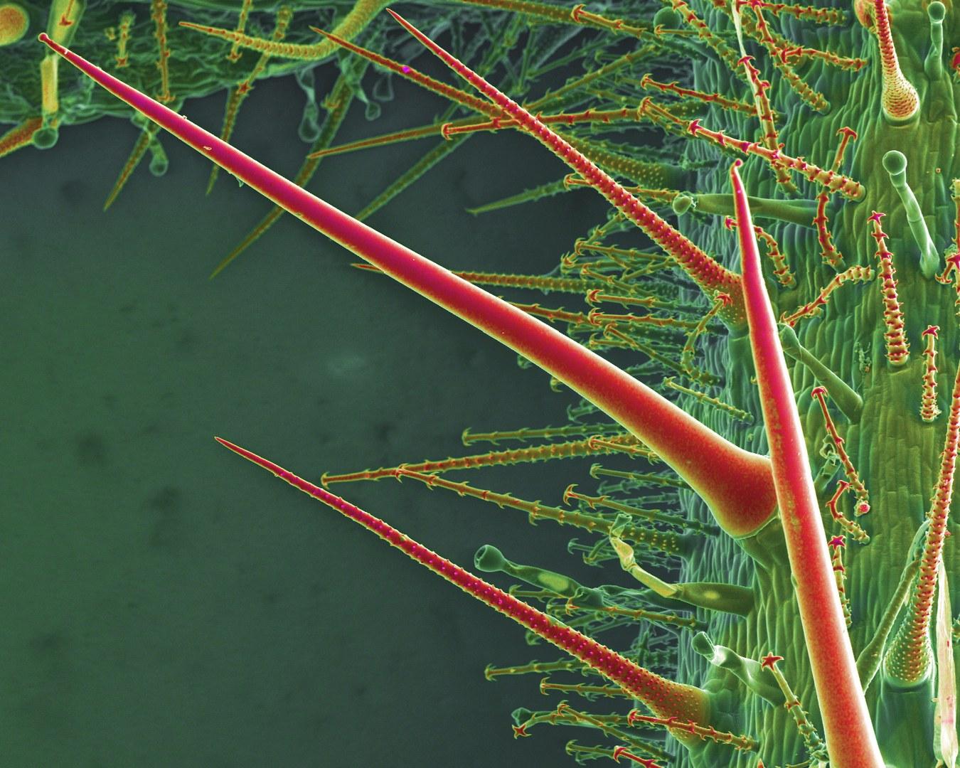 Brenn- und Hakenhaare der Blumennessel Loasa pallida