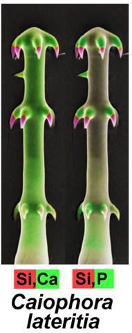 Ein Hakenhaar der Blumennessel Caiophora lateritia