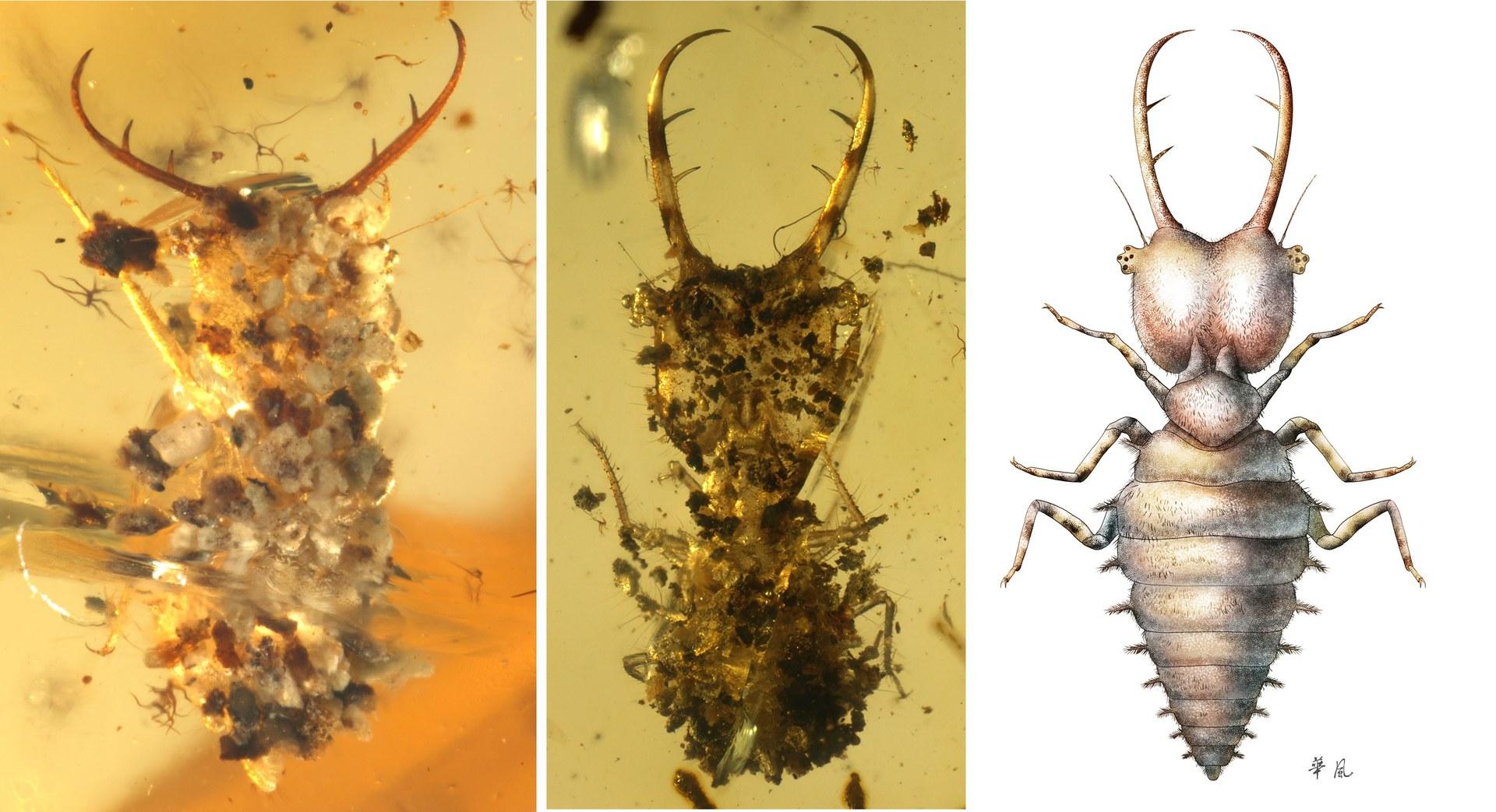 Getarnte Larven der Schmetterlingshafte (Neuroptera: Ascalaphidae):