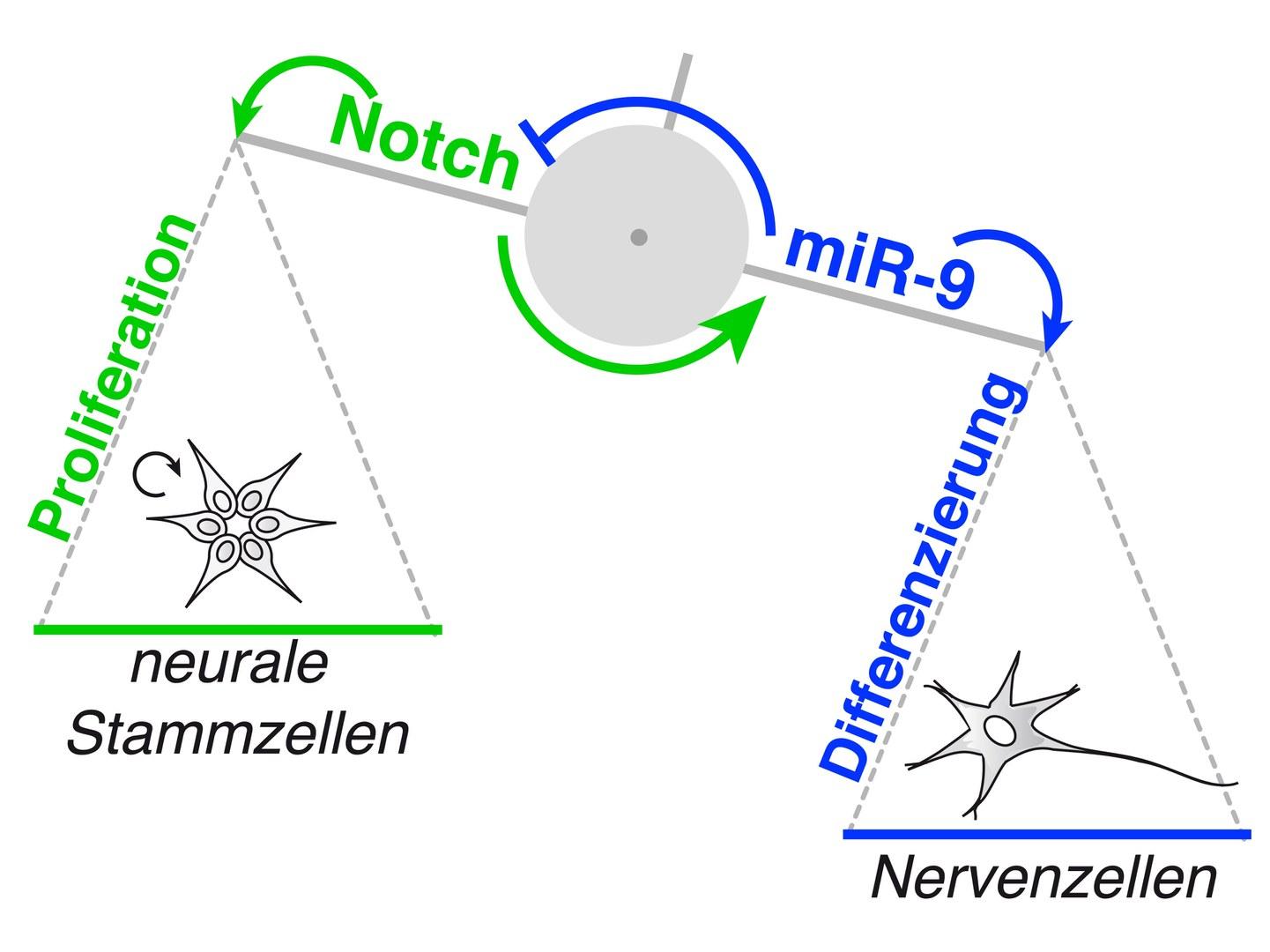 Notch_miR9_Interaktion.jpg