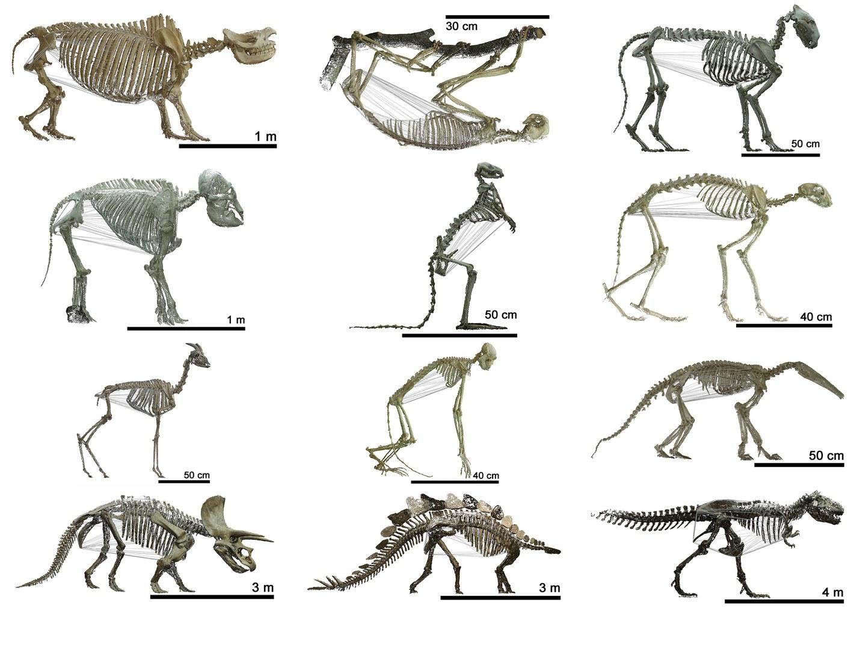 Rekonstruktion der Skelette unterschiedlicher Wirbeltiere: