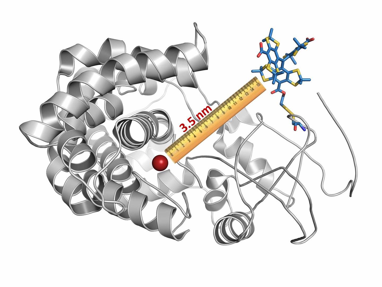 Die Wissenschaftler haben ein Cytochrom-Molekül
