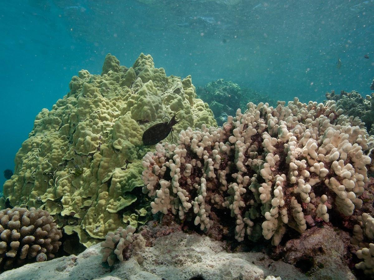 Typische Korallen