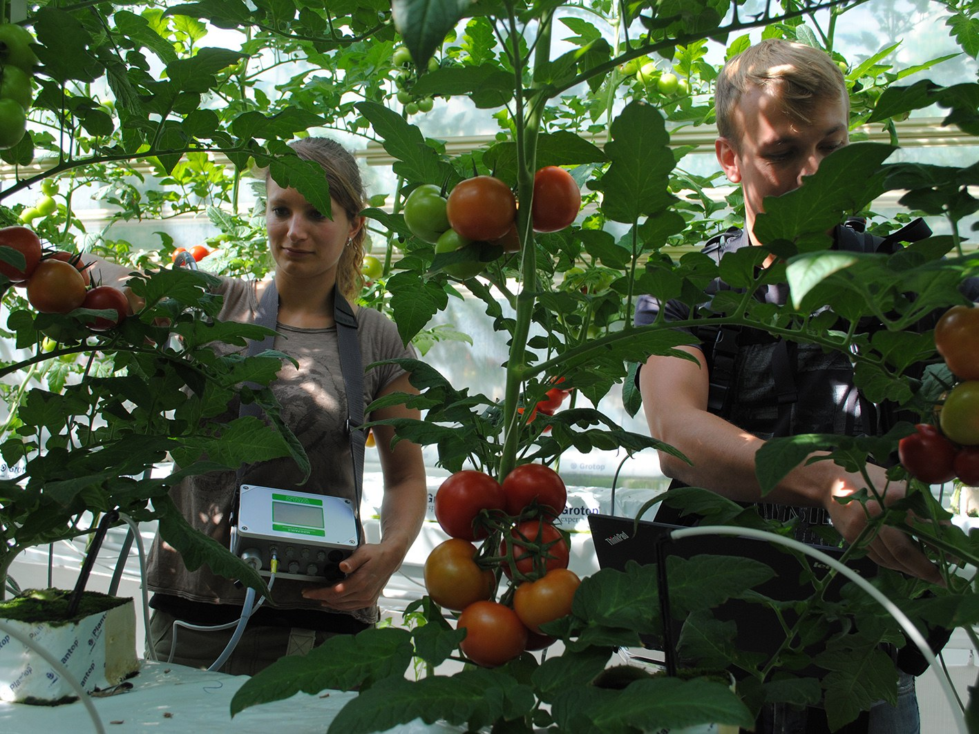 """""""Sparsame"""" Tomatenpflanzen"""