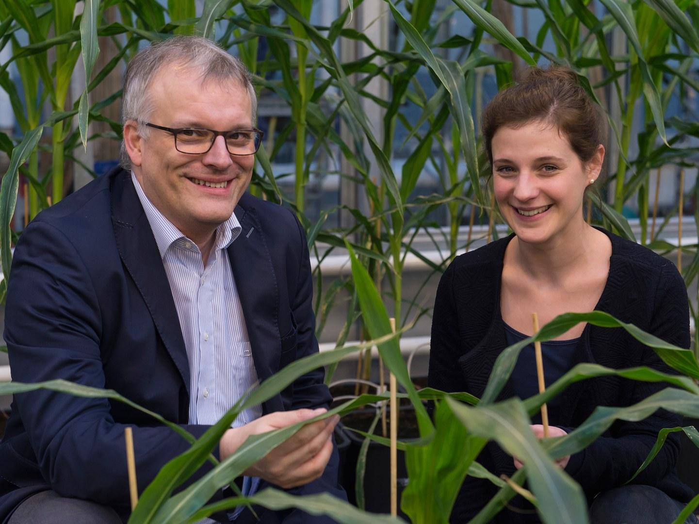 Erforschen die Gene von Maispflanzen: