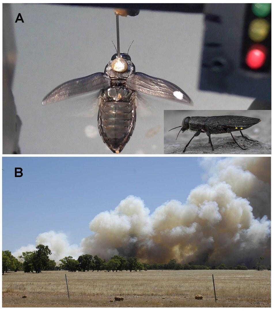 Australischer Feuerkäfer