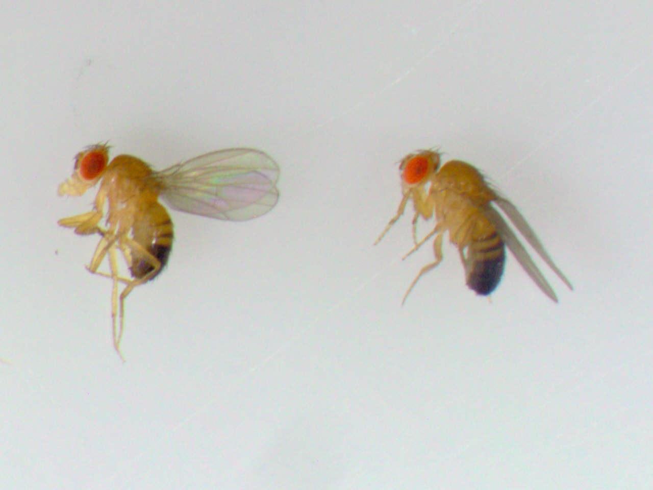 Drosophila-Fliegen: