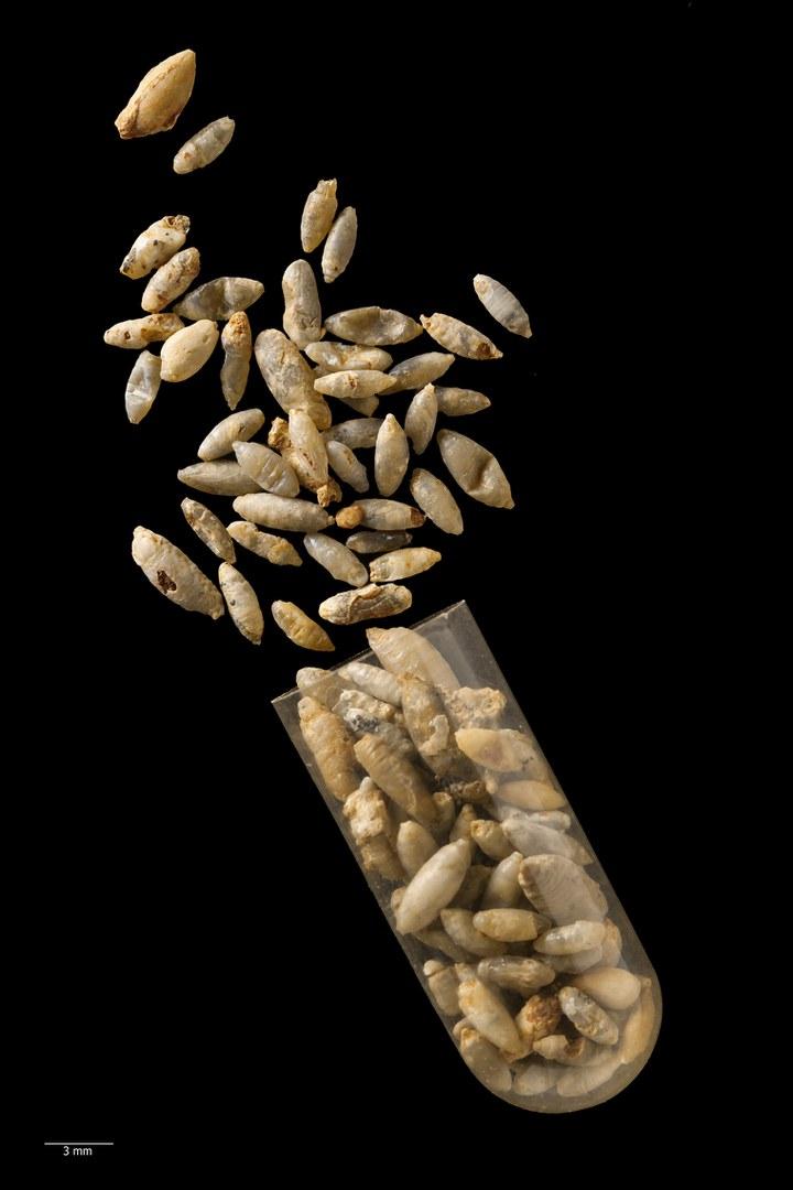 Einige Proben der fossilen Fliegenpuppen