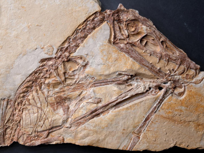 Das erste Exemplar von Scaphognathus crassirostris