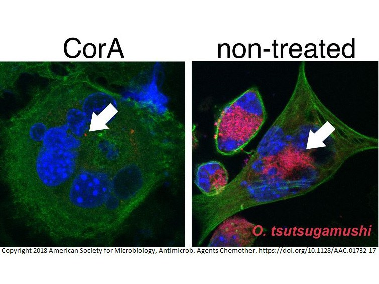 Corallopyronin A hemmt das intrazelluläre Wachstum von Orientia tsutsugamushi: