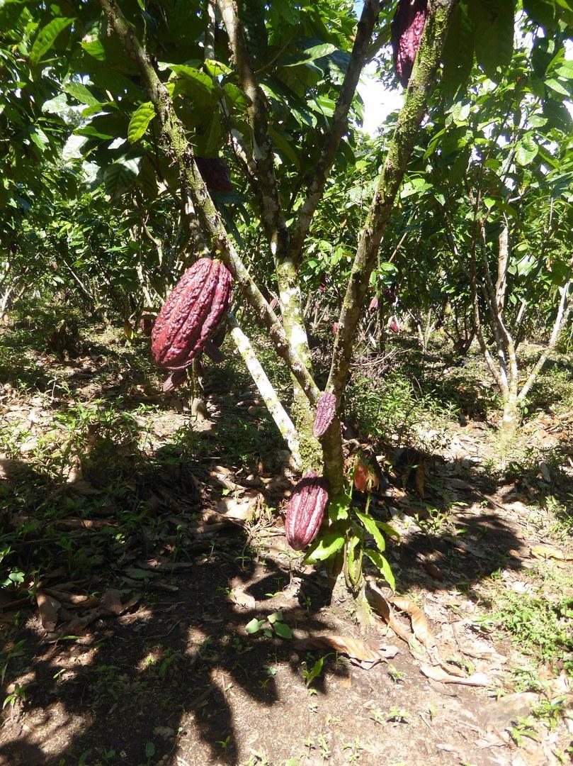 Der Anbau von Kakaopflanzen