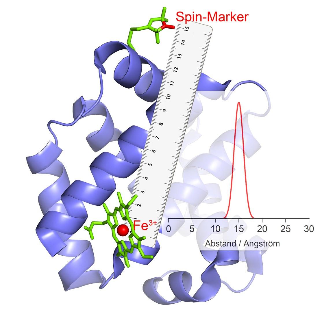 Das Fe3+-Ion im katalytischen Zentrum verhält sich wie ein Magnet: