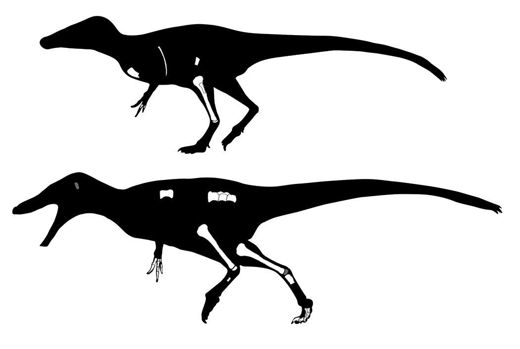 Rekonstruktion der Raubsaurier Phuwiangvenator und Vayuraptor