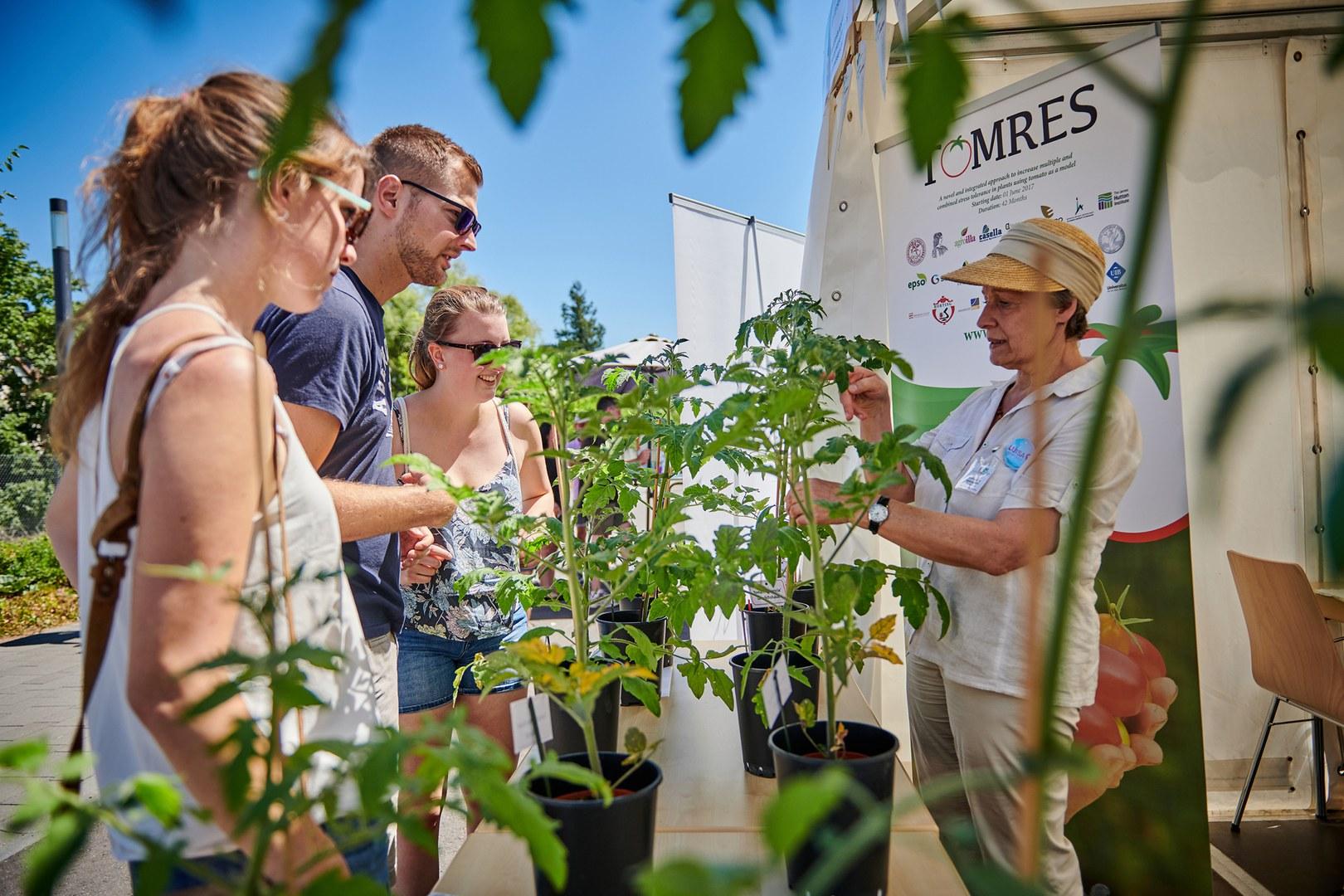 Wie lassen sich trockenresistentere Tomatensorten züchten?