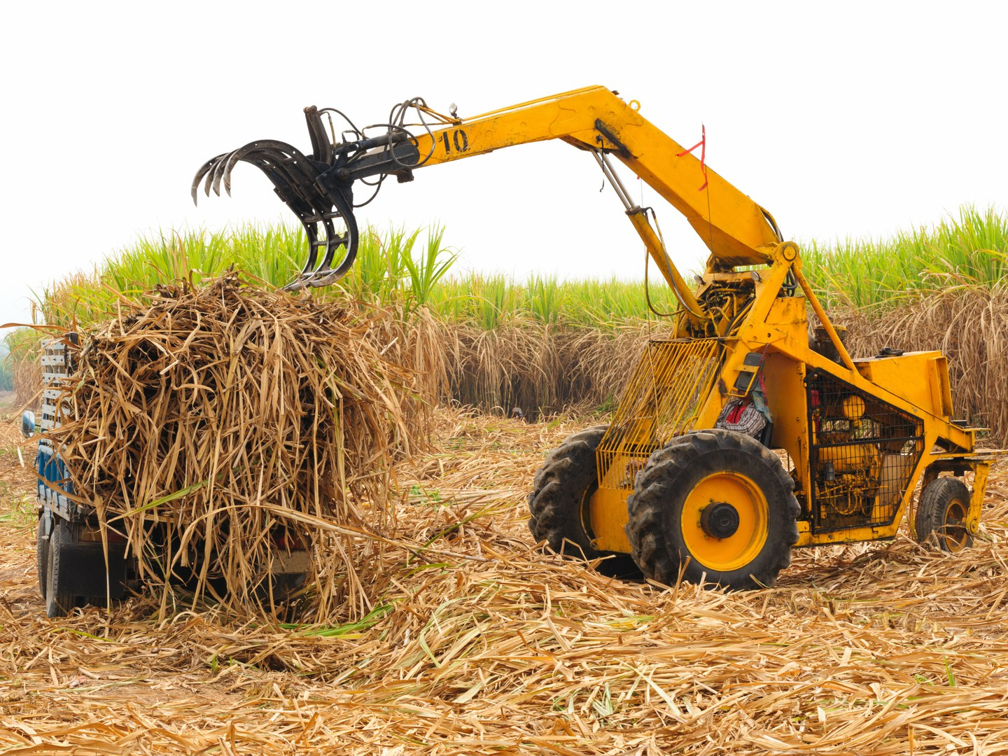 For the cultivation of sugar cane