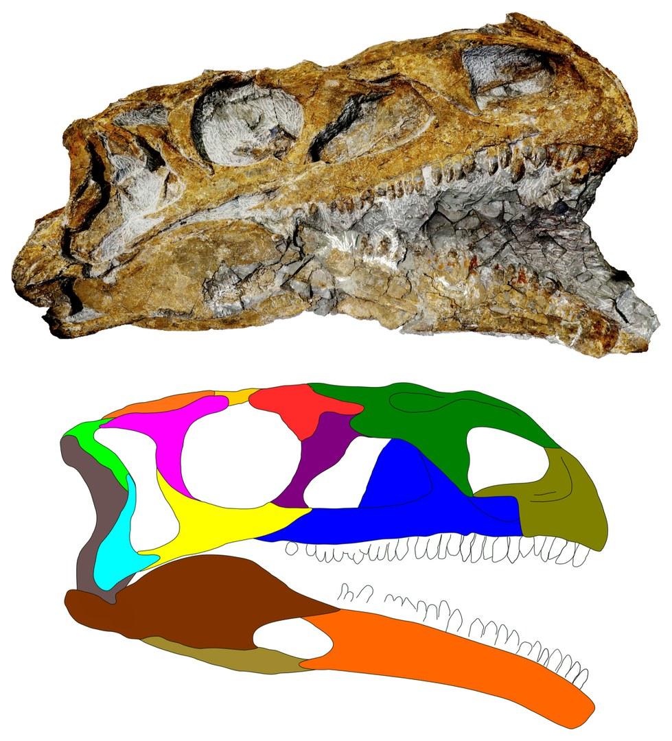 Photo of a skull