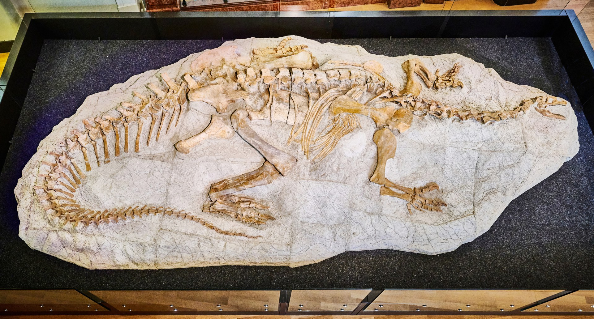 The complete fossil of a Plateosaurus trossingensis,