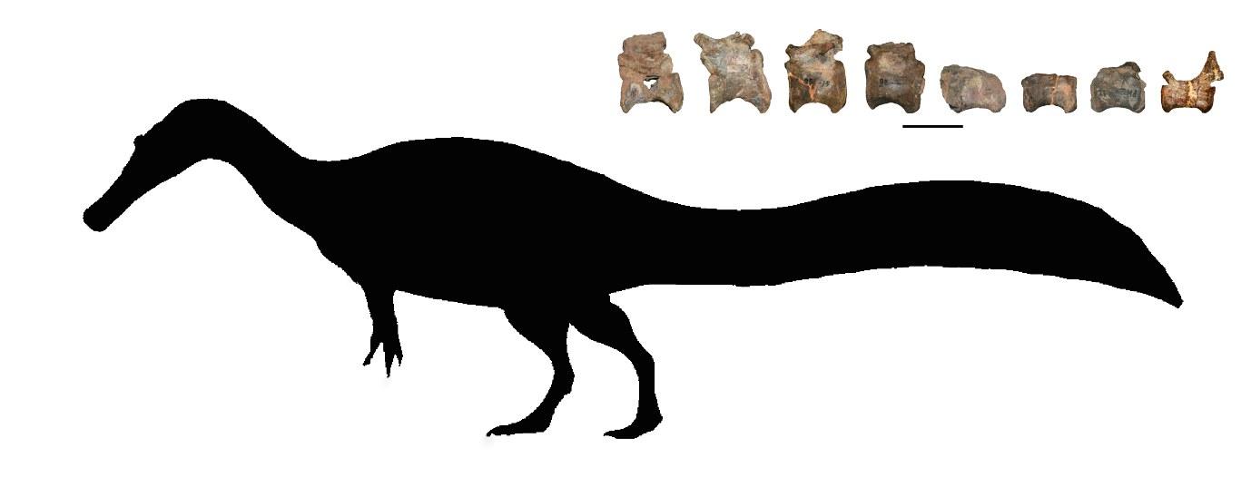 Tail vertebrae