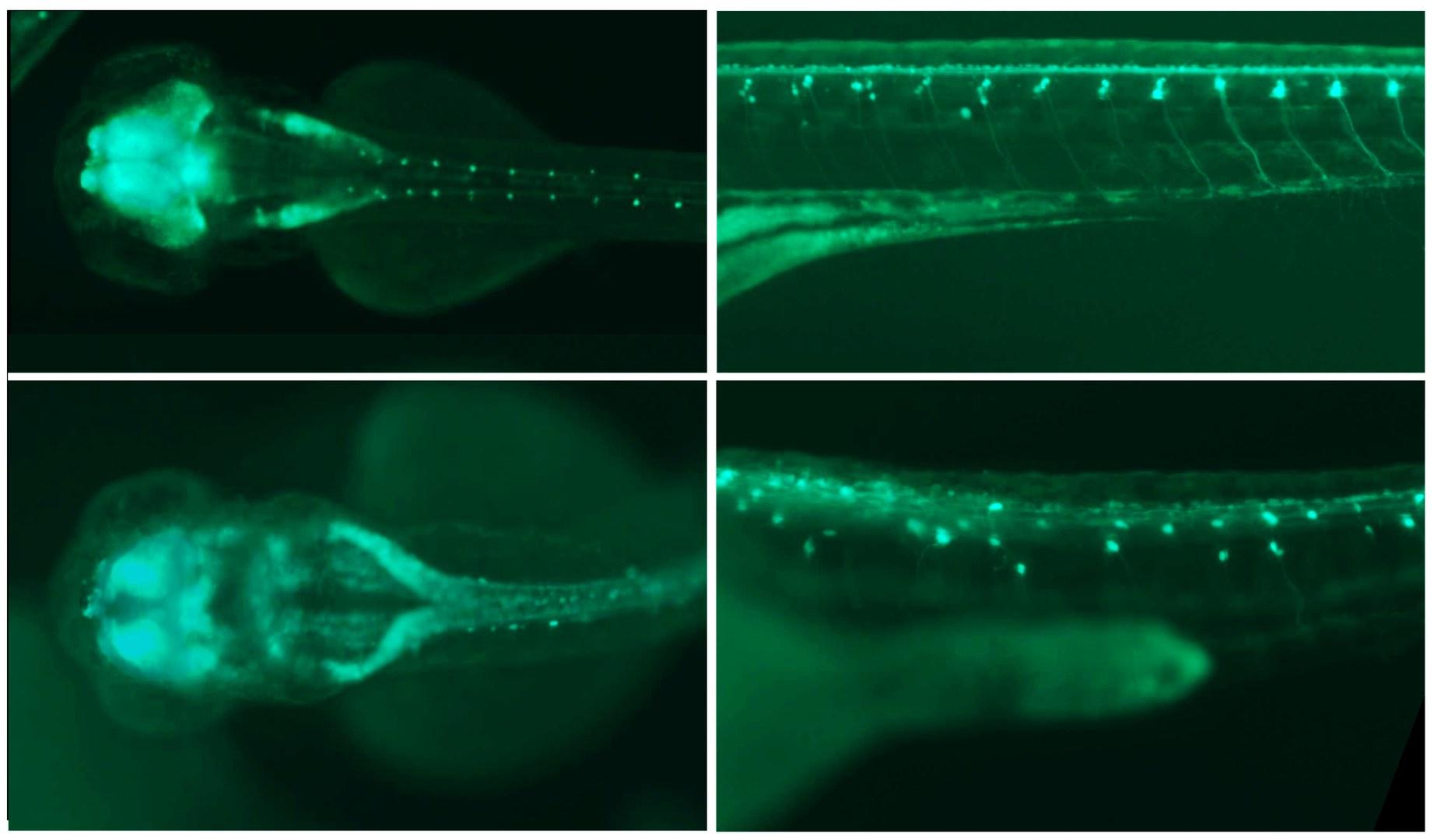 Fluorescence image of two zebrafish embryos