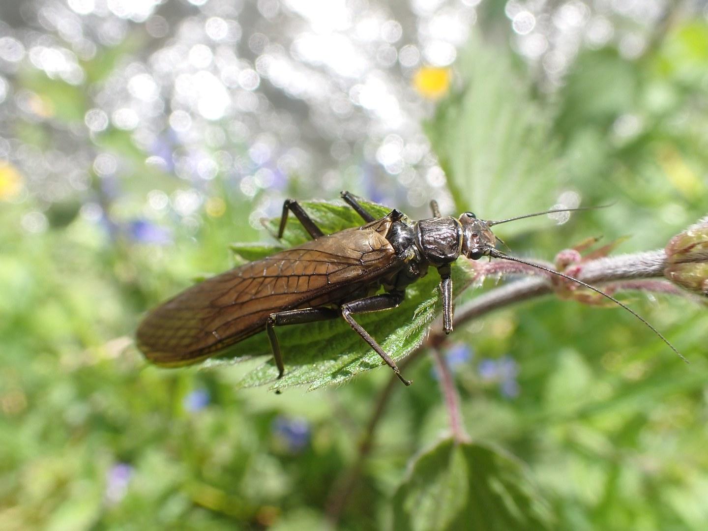 Stonefly (Dinocras sp.):
