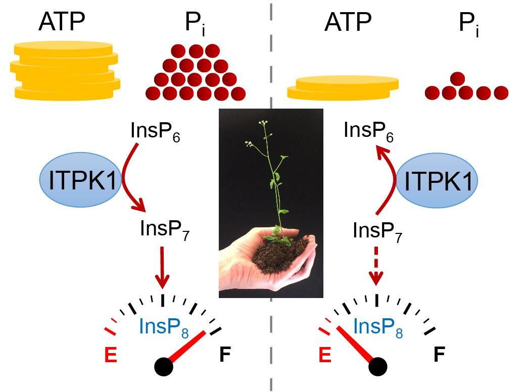 Plants convert their phosphate(Pi) status