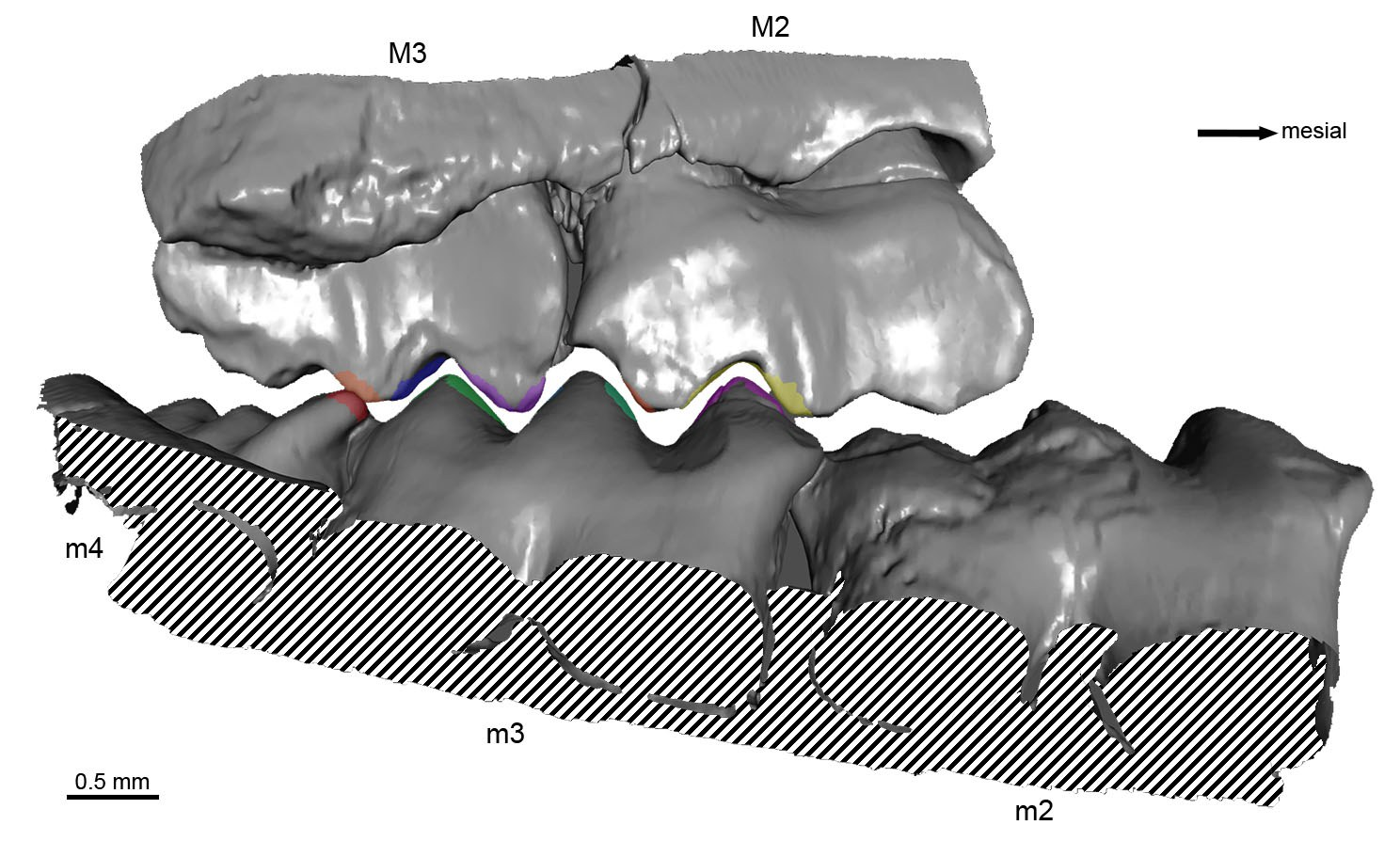 The investigated dentition of P. fruitaensis.