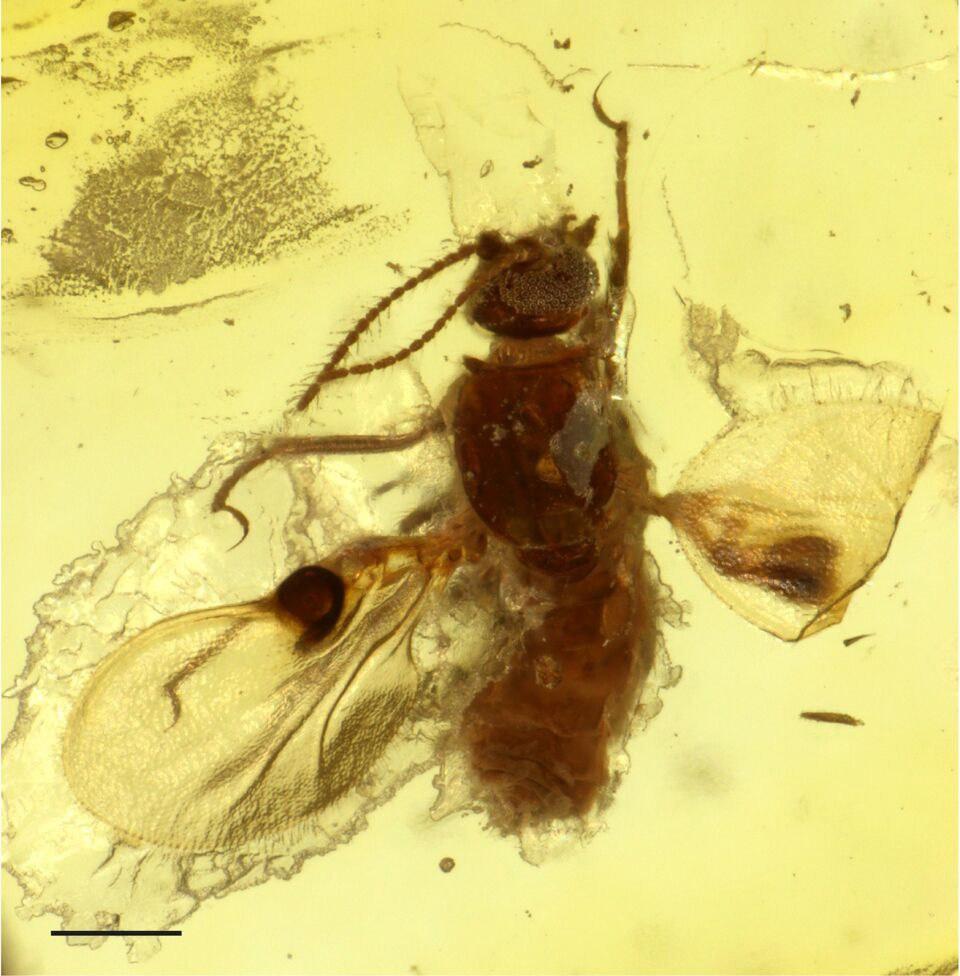 The biting midge is encased in amber: