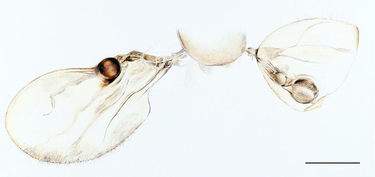 The pheromone evaporators