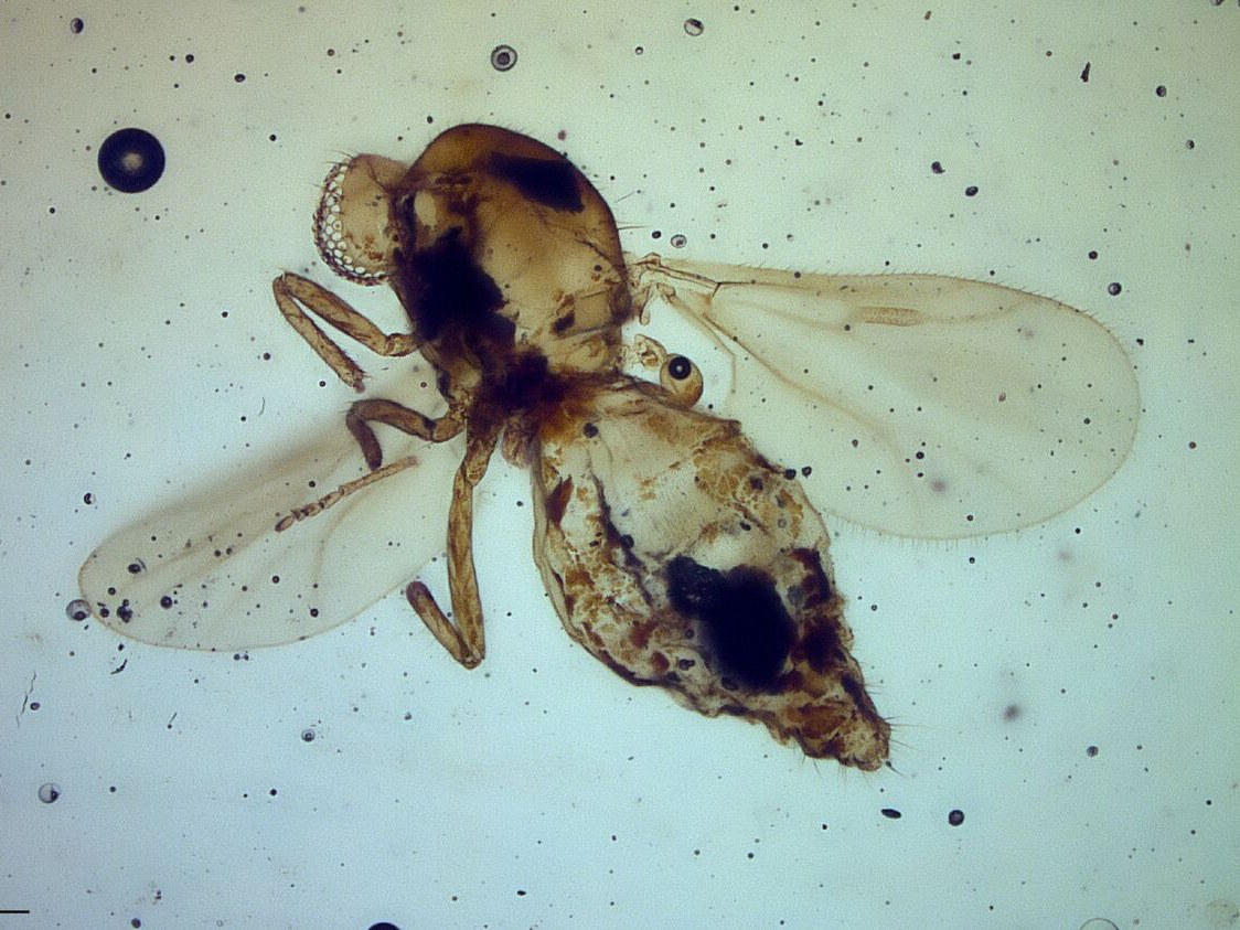 Gedanohelea gerdesorum in 54 million-year-old Cambay amber from India: