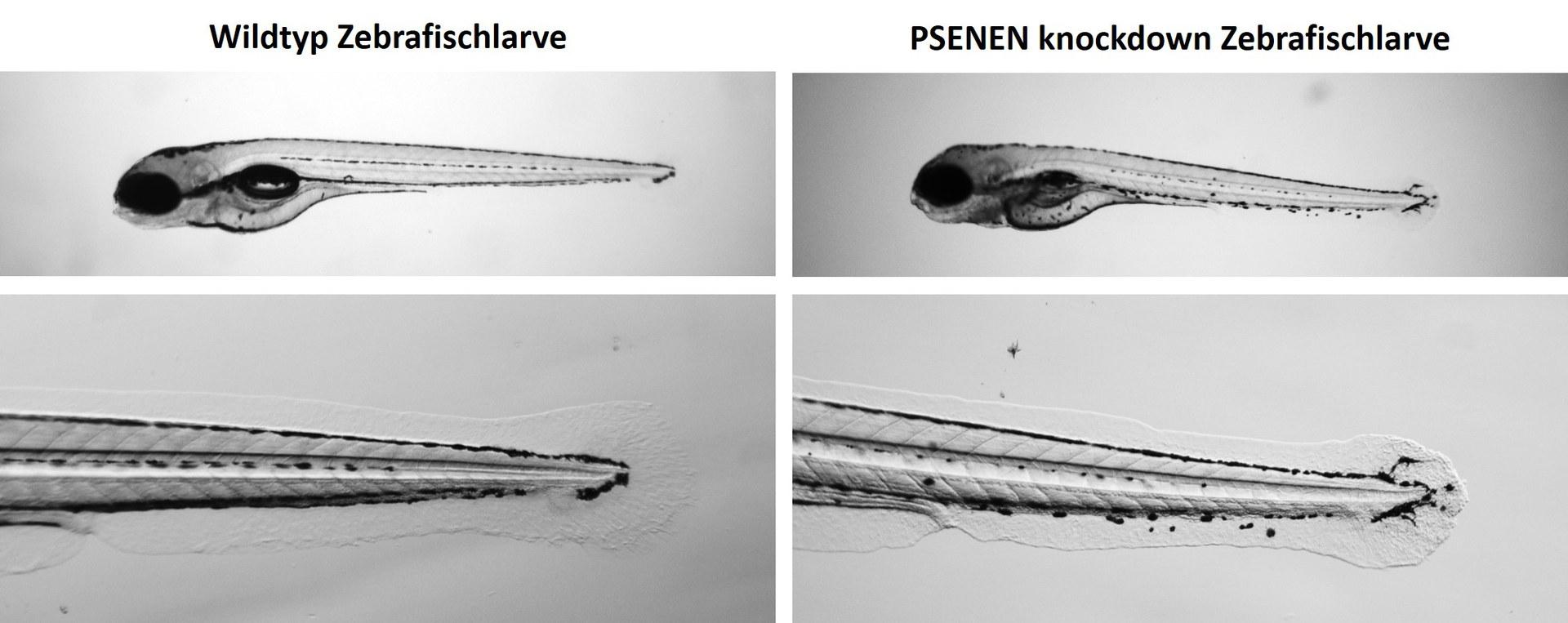Microscopic image of zebrafish larvae: