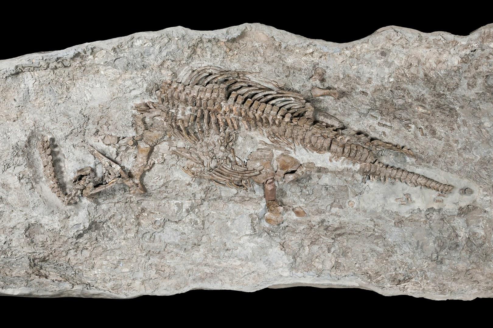 Skeleton of Rhaeticosaurus,