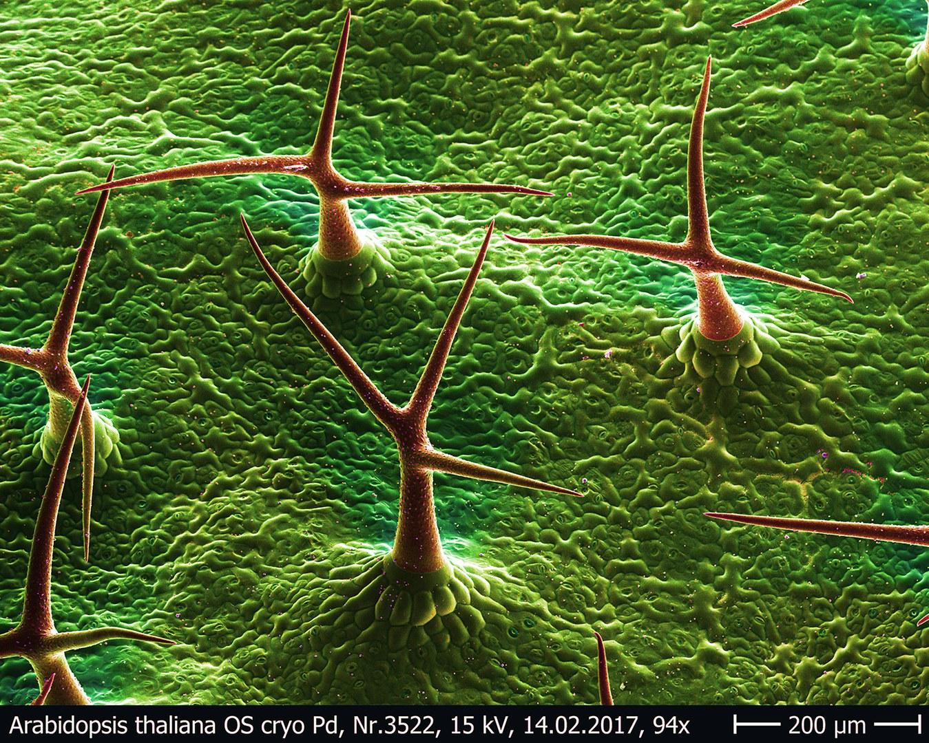 Several hairs of thal cress (Arabidopsis thaliana)