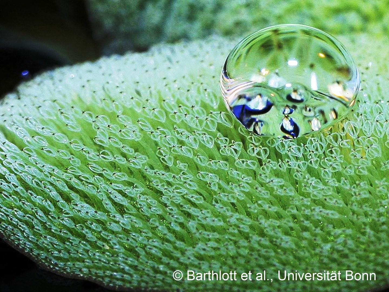 The aquatic fern Salvinia molesta
