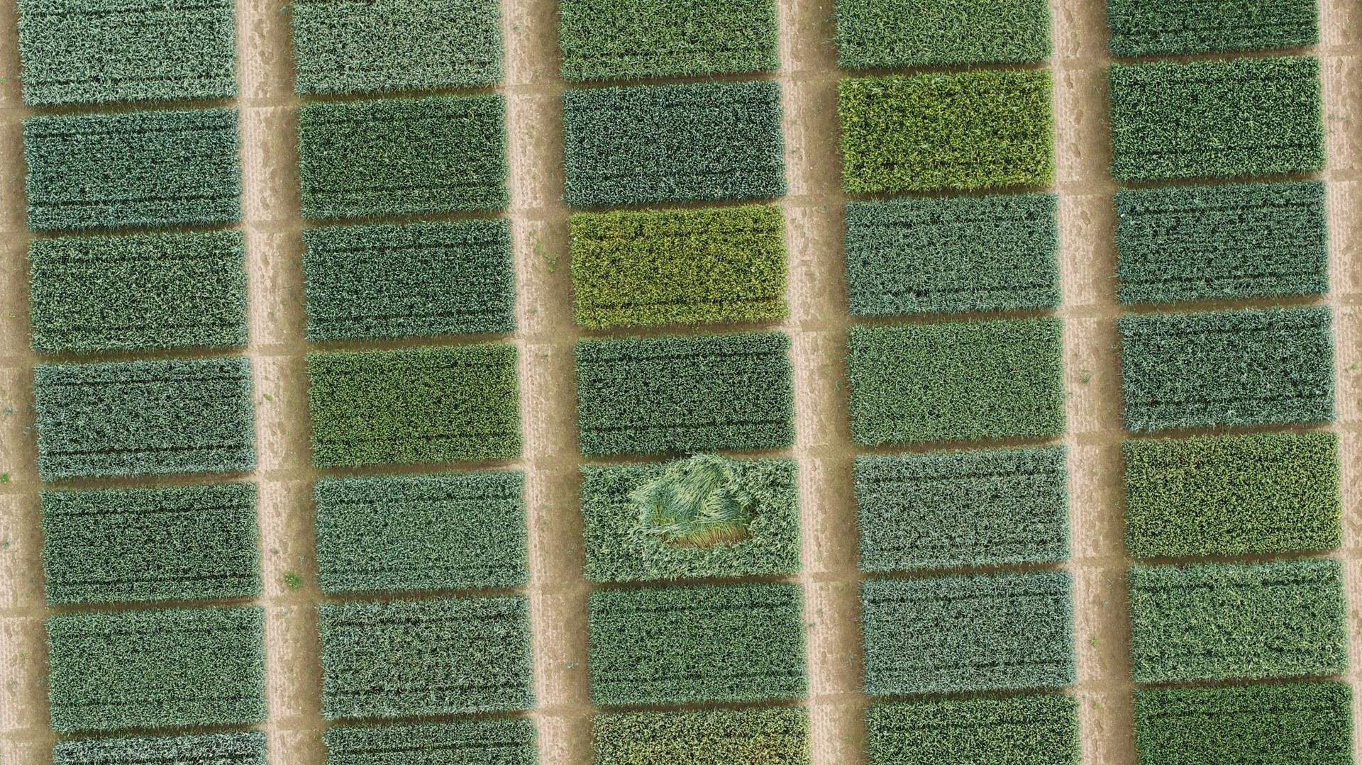 Wheat plots,