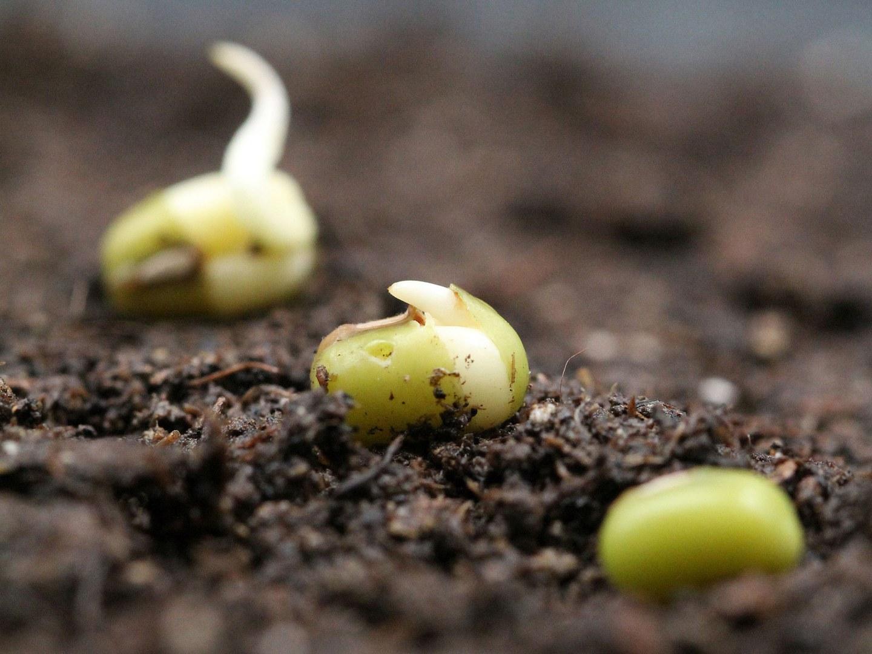 Bild1-Mung-bean-seeds_by-Bettina-Richter-3x4.jpg